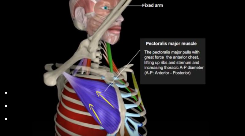 Anatomía de la inspiración voluntaria (video con animación)