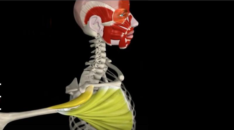 Estiramiento del pectoral mayor (video con animación)