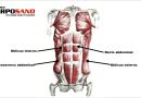 Tipos de músculos abdominales y cómo ejercitarlos